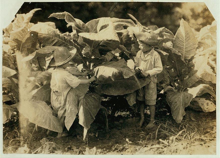 6-летний Амос и 4-летний Гораций в табачном поле. Их отец, Джон Нил, арендатор, выращивающий табак, сказал (и владелец земли подтвердил), что оба мальчика работают в поле изо дня в день «от восхода солнца до заката» и они также выносливы как и взрослые, округ Уоррен, Кентукки.