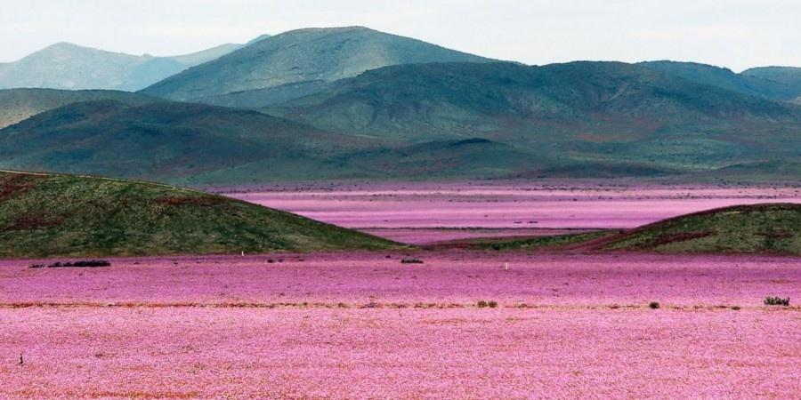 В сезон дождей самая сухая в мире пустыня расцвела тысячами мальв