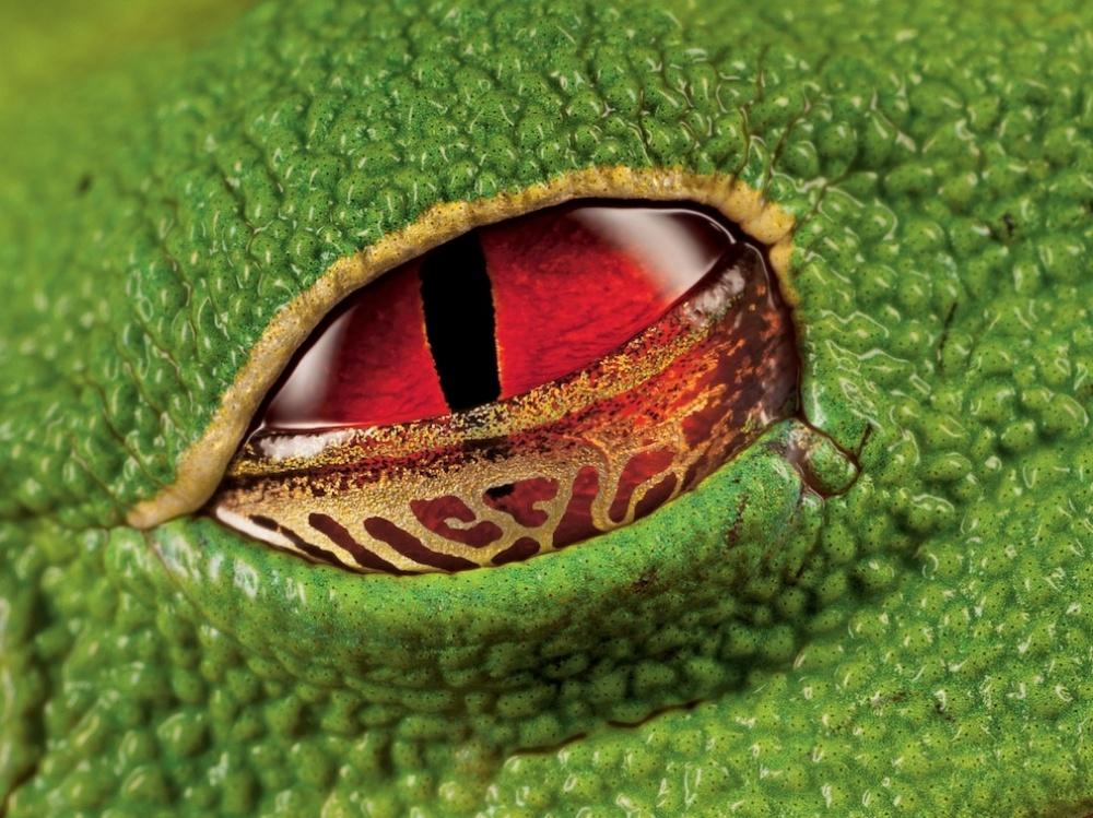 Алые глаза ядовитой квакши, Коста-Рика