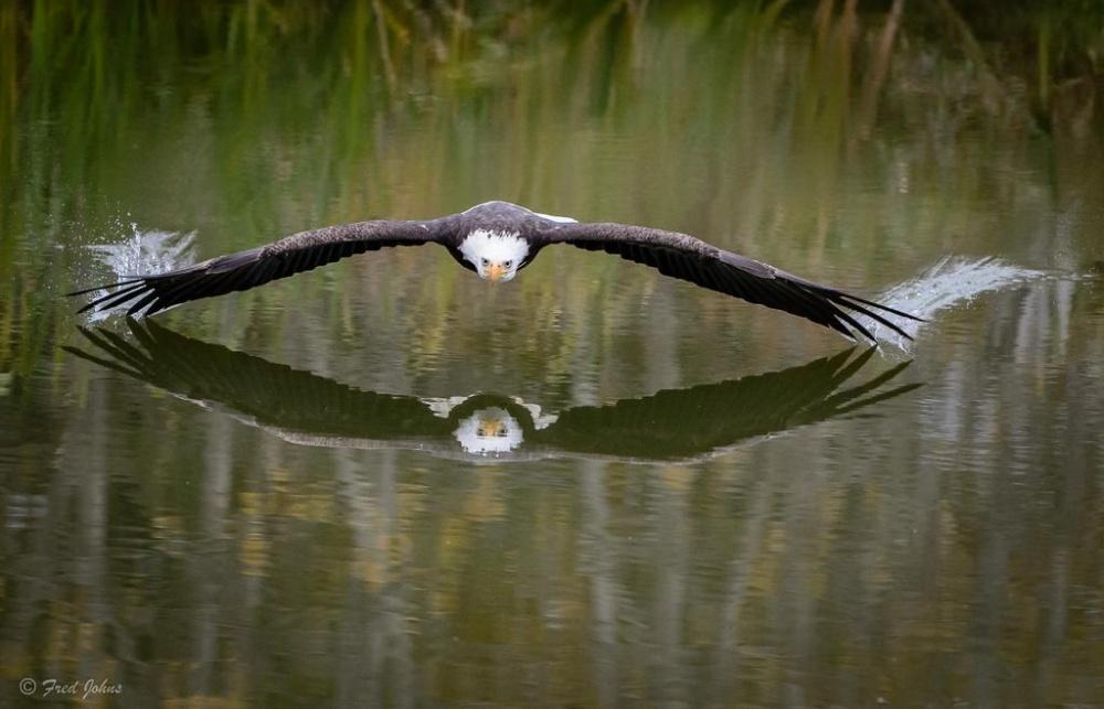 Парящий над водой орел в Канаде