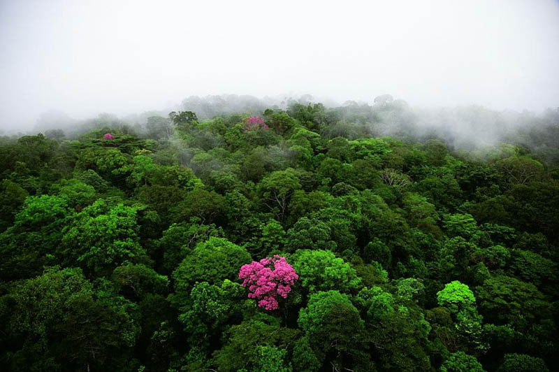 5. Розовое эбеновое дерево на горе Кау во Французской Гвиане