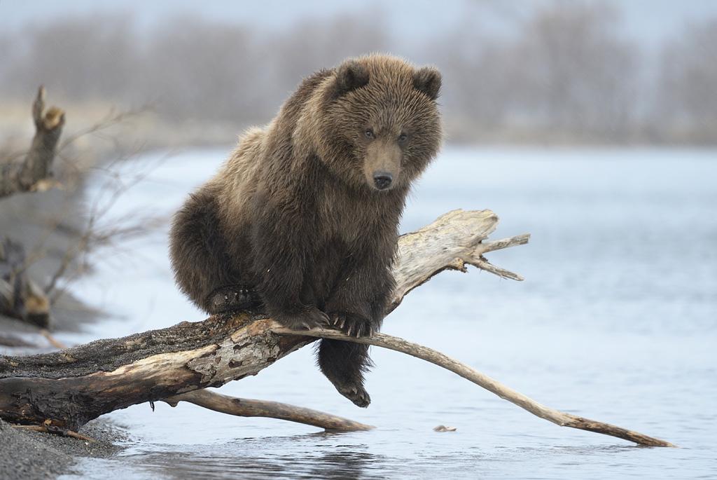 Медвежья услуга —  когда успеваешь сфотографировать и тебя не сожрали