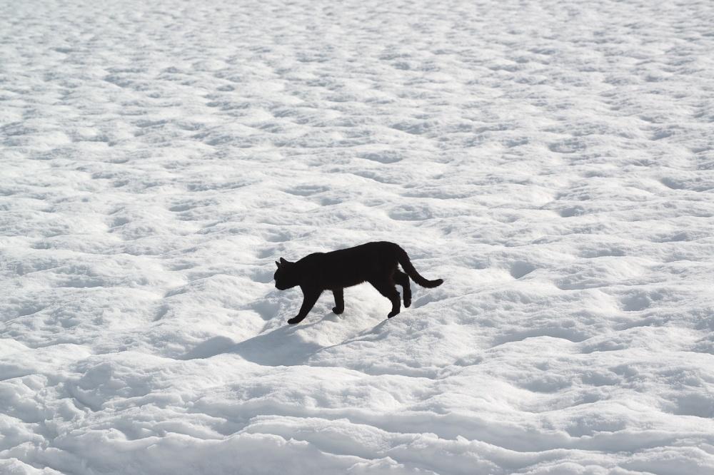 Черный кот, белый снег.