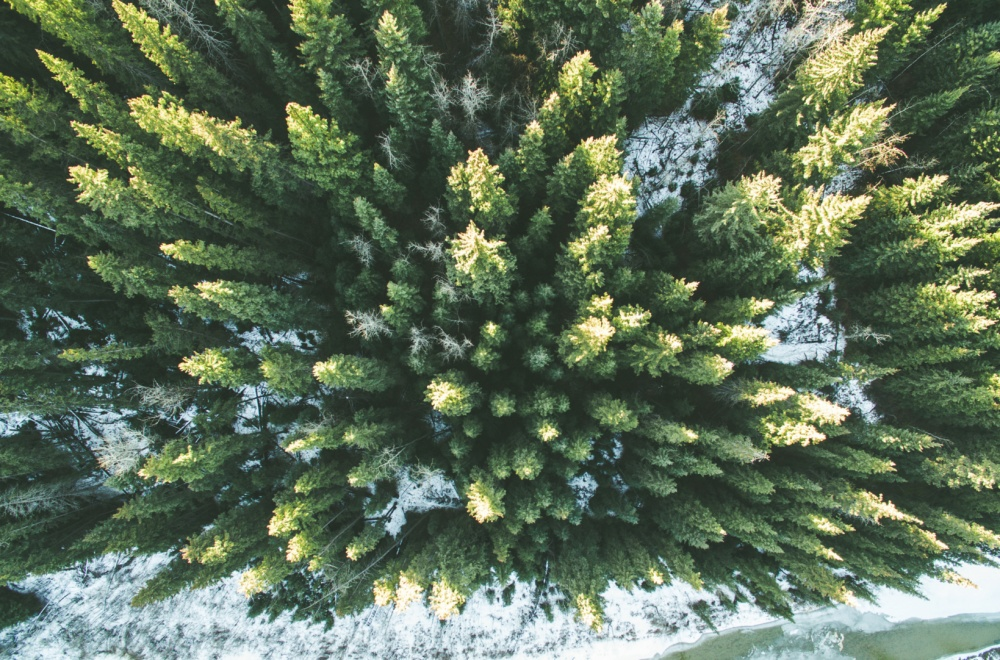 Зимний хвойный лес.