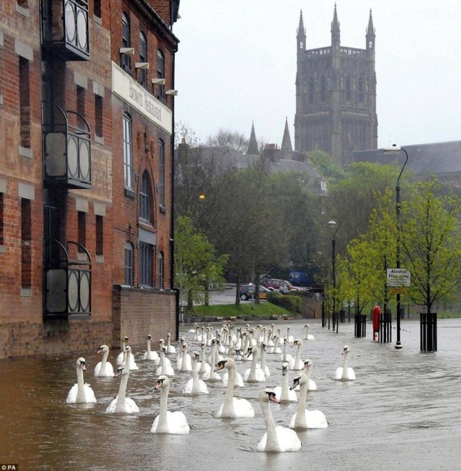 После наводнения по улицам Англии плавали лебеди
