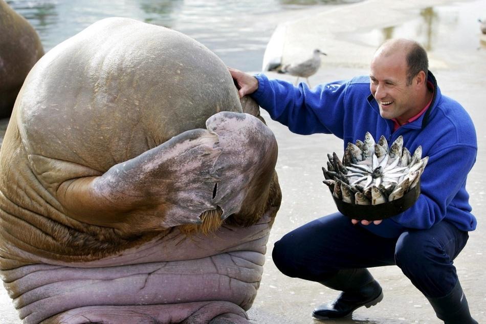Морж смущается, когда ему дарят на день рождения торт из рыбы. Норвегия