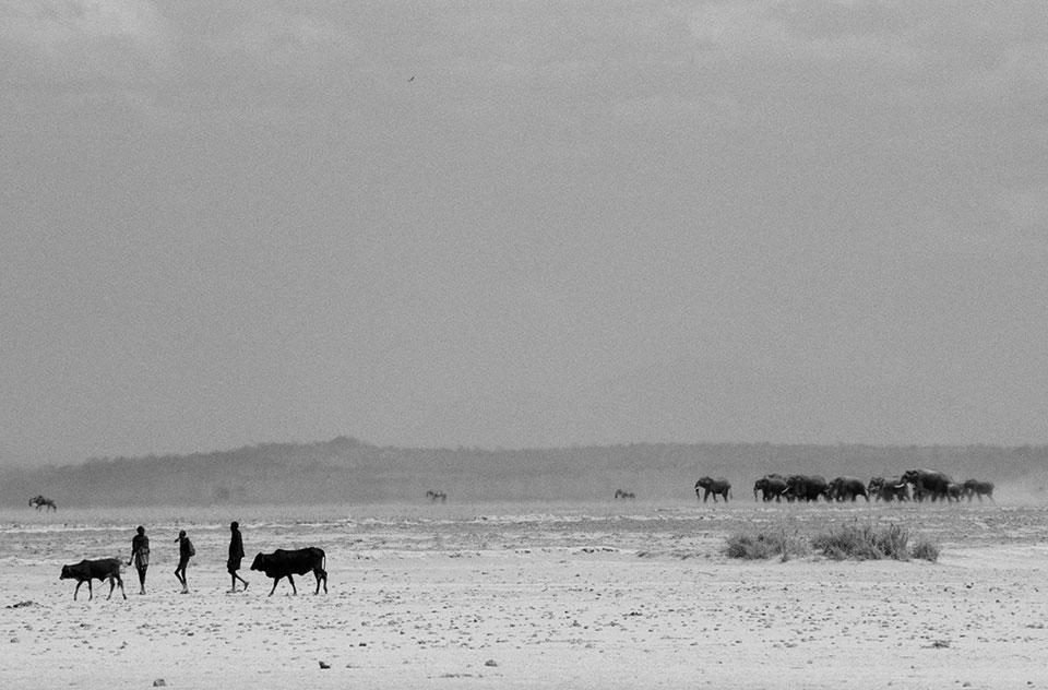 Амбосели, Кения: пастухи масаи со своим скотом и стадо слонов идут на общий водопой.