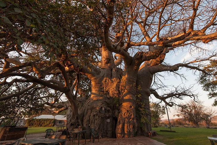 Sunland Baobab 1