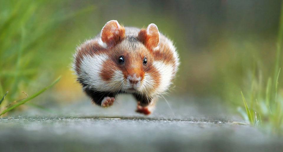 Победителем конкурса выбрали фотографию бегущей морской свинки Julian Rad — «час пик».