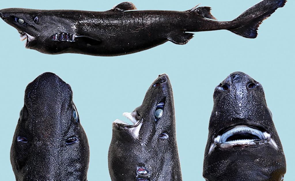 Акула-ниндзя