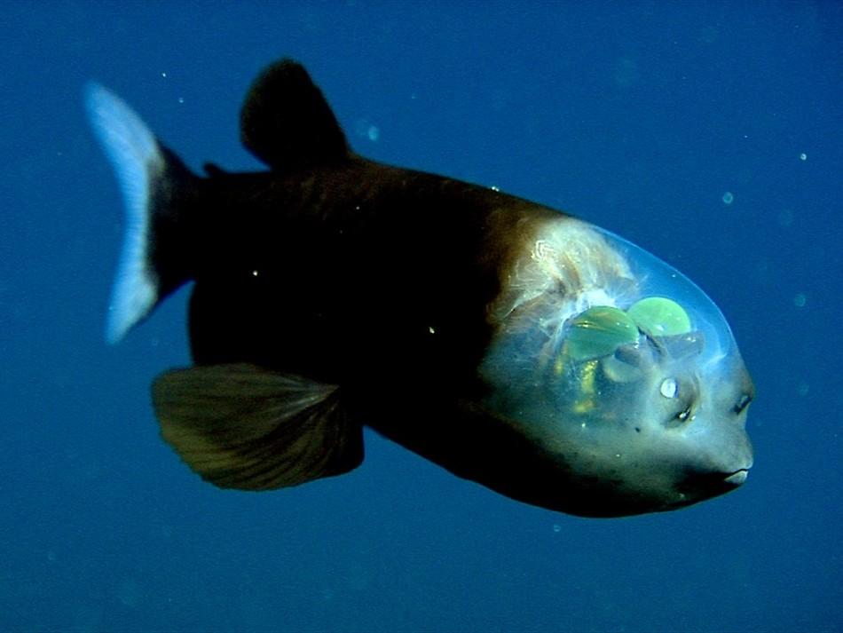 Малоротая макропинна — рыба с прозрачной головой