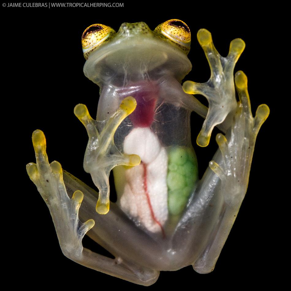 Стеклянные лягушки, обладающие прозрачной кожей, через которую видны все внутренности