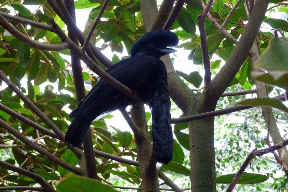 Эквадорская зонтичная птица