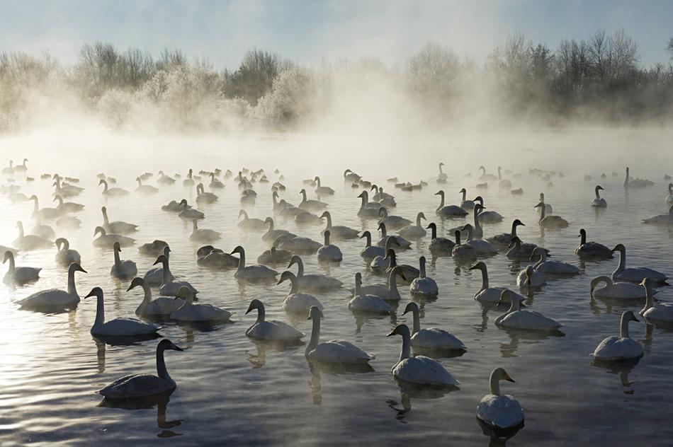 Настоящее лебединое озеро