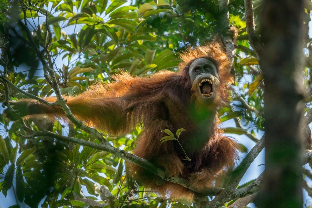 ©-Tim-Laman-Tough-Times-for-Orangutans-01