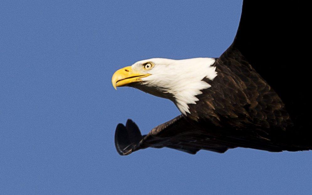 Eagle Feeding