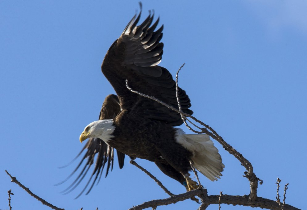 An American Bald Eagle flies off a tree branch above the Hudson River at Kingston Point in Kingston New York