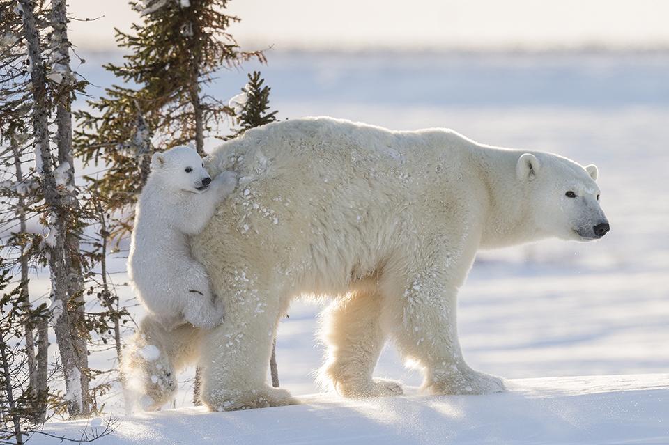 Полярные медведи: 117 часов ожиданий и 50-градусный мороз