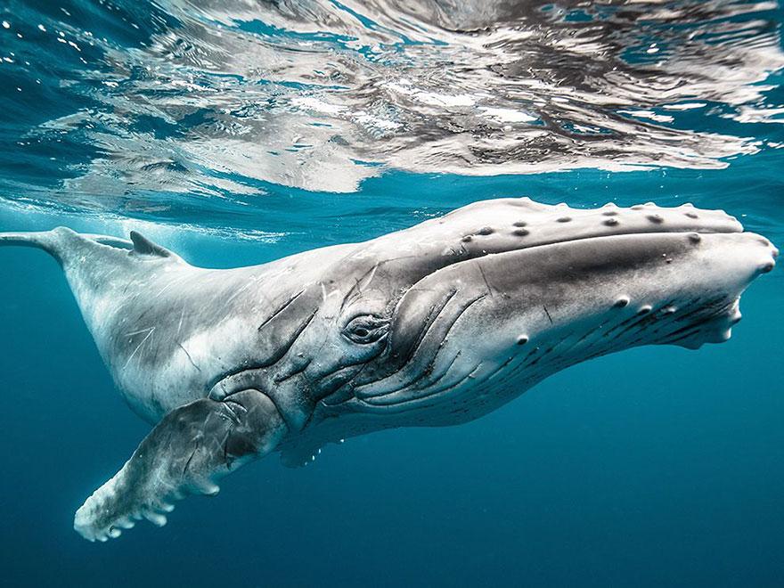 velichestvennye-foto-kitov-5