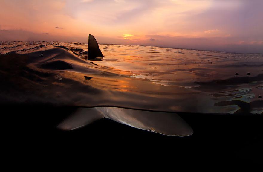 13. Акула