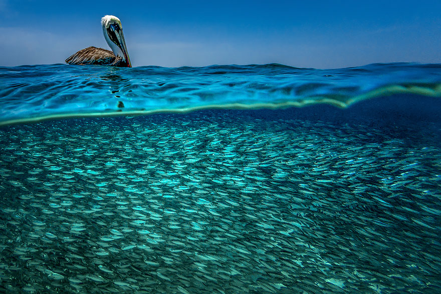 10. Пеликан и его обед