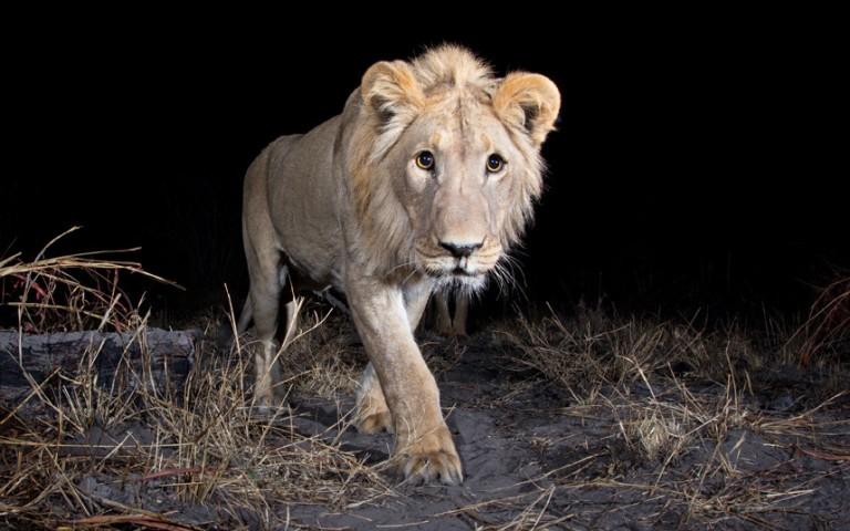 Неуловимые африканские животные на снимках камер слежения