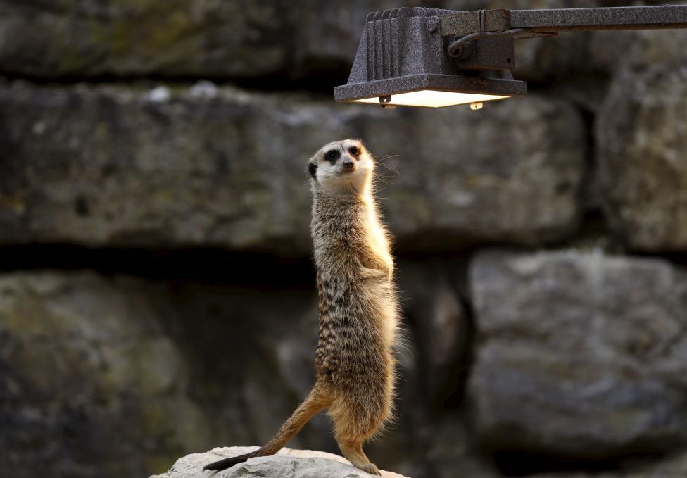 "A meerkat enjoys the warmth of a heat lamp while standing in the meerkat enclosure at wildlife park ""Opel Zoo"" in Kronberg"