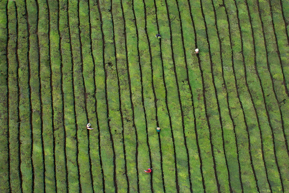 Workers pick tea leaves at a tea plantation in Dongyang