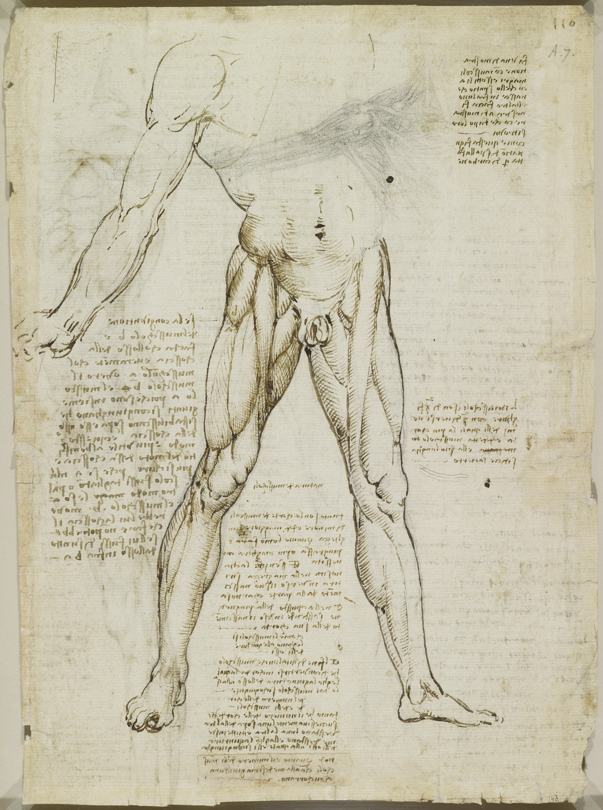 Recto: The muscles of the leg. Verso: The muscles of the trunk a