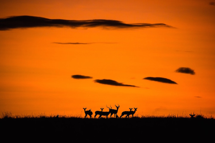 Impala at Sunrise