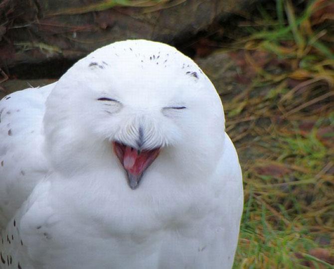 Смеющиеся совы в фотографиях