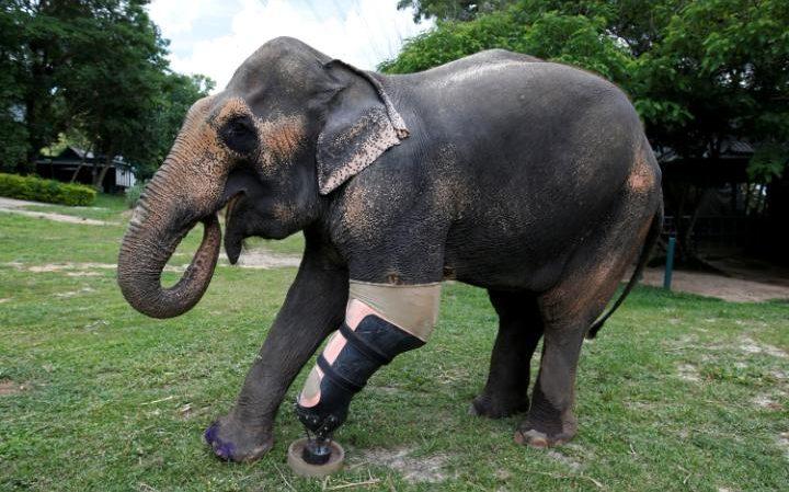 Люди калечат, люди лечат: протезы ног для подорвавшихся на минах слоних
