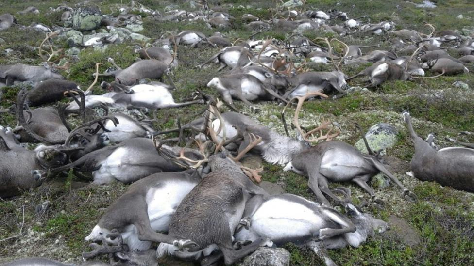 Dead wild reindeer are seen on Hardangervidda in Norway