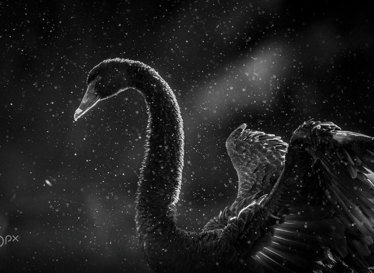 Картинки по запросу Необычайная красота чёрного лебедя