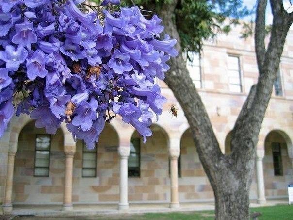 Жакаранда (фиалковое дерево) в цвету