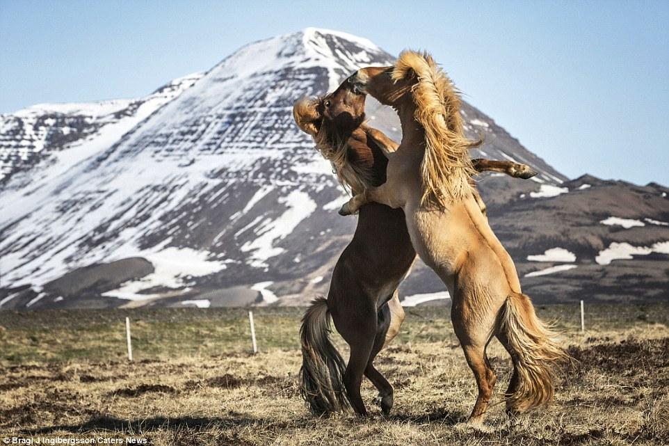 islandskie-loshadi-29-4