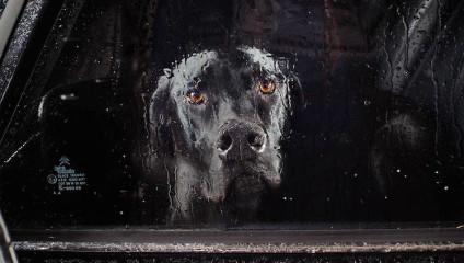 Портреты запертых в автомобилях собак, которые пробирают до глубины души