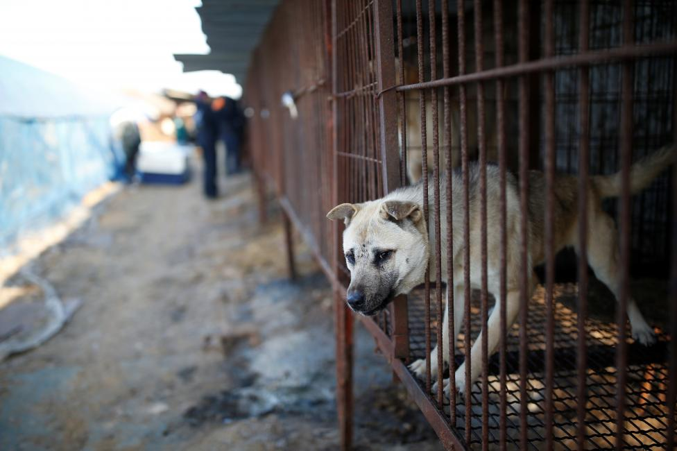 A dog is pictured in a cage at a dog meat farm in Wonju