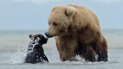 Медведица играю со своим медвежонком. Фотограф Lisa Sidorsky