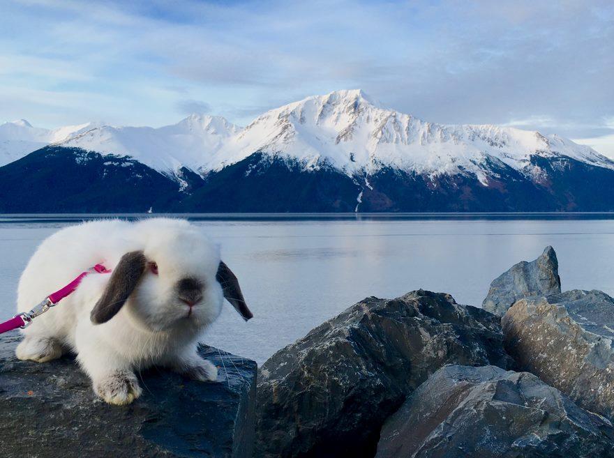 Кролик-путешественник