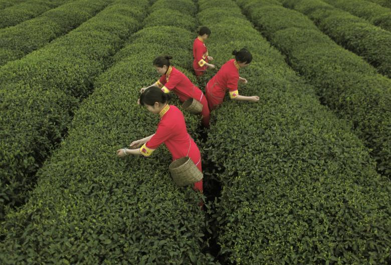 Представительницы народа цян собирают чайные листья на плантации в Яане в провинции Сычуань.