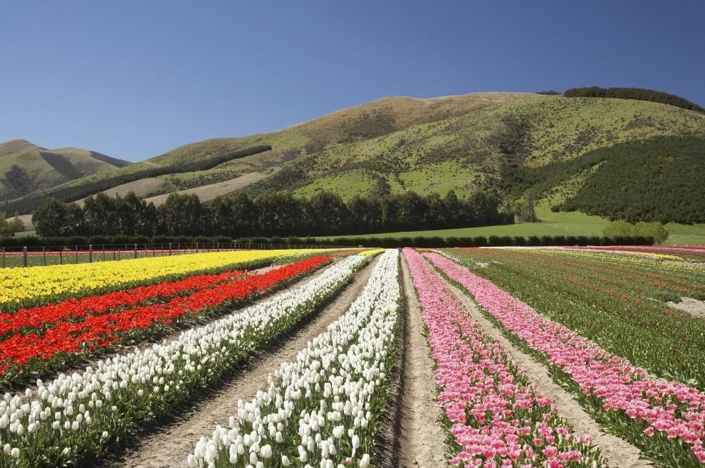 Тюльпановые поля в Новой Зеландии