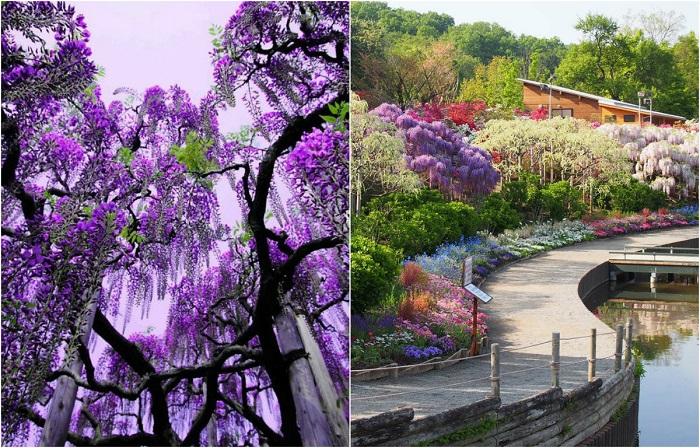 Магия Цветочного парка Асикага