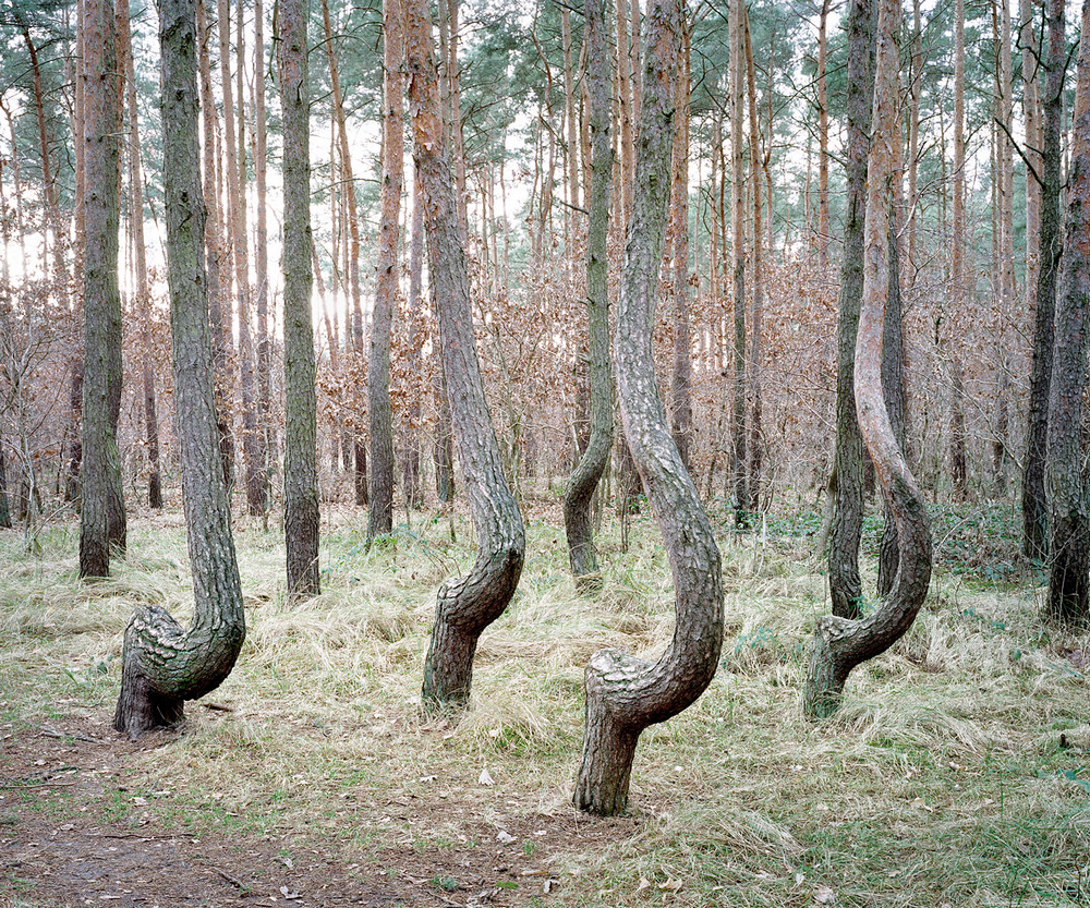 Dancing Trees. Gryfino, Poland 2012.