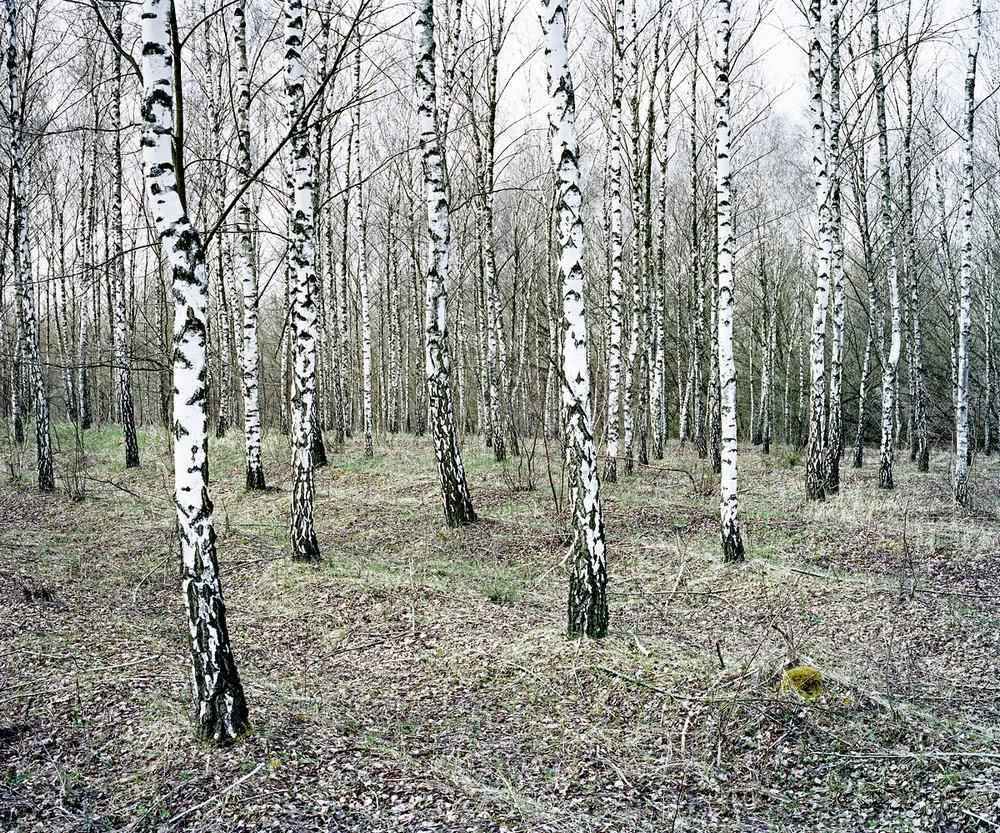 Birches. Csevharaszt, Hungary 2011.