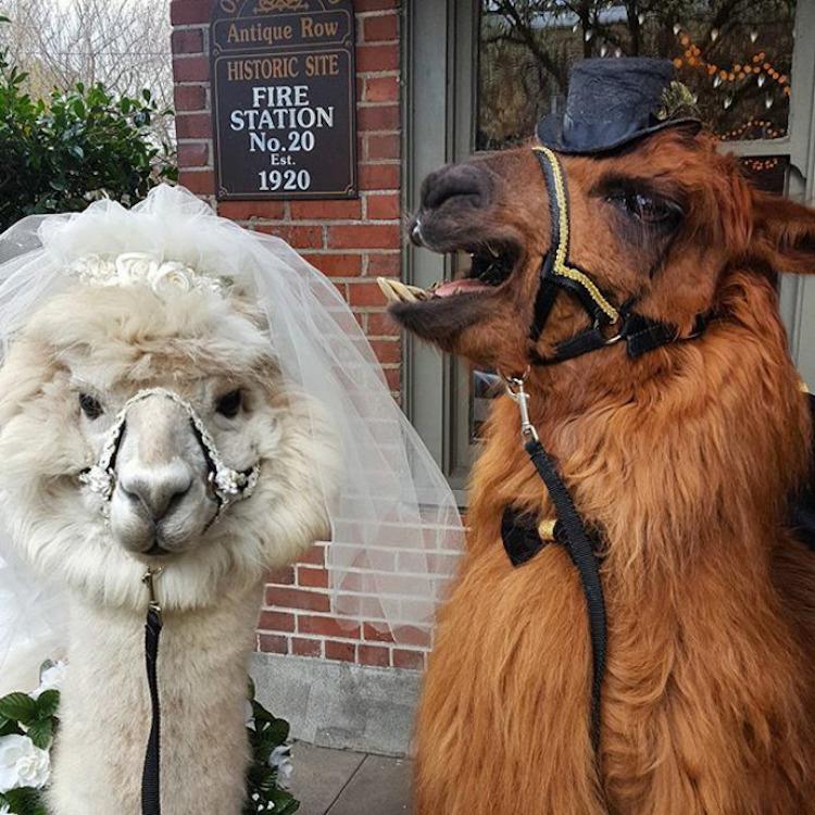 zhyvotnye-na-svadbe-16-15