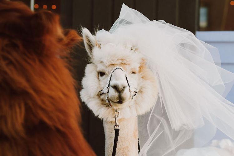 zhyvotnye-na-svadbe-16-16