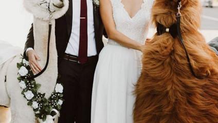 Пригласите на свадьбу альпаку: необычные гости, от которых все будут в восторге