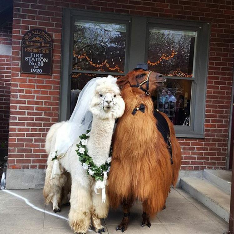 zhyvotnye-na-svadbe-16-2