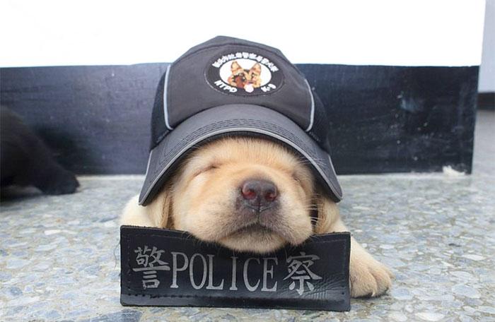 schenki-labradory-politsii-Tayvanya_1